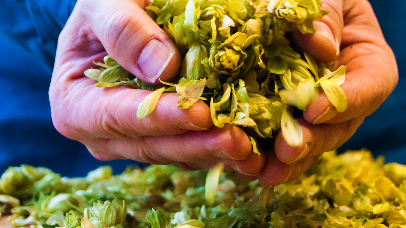 Closeup photograph of dried hops in hands