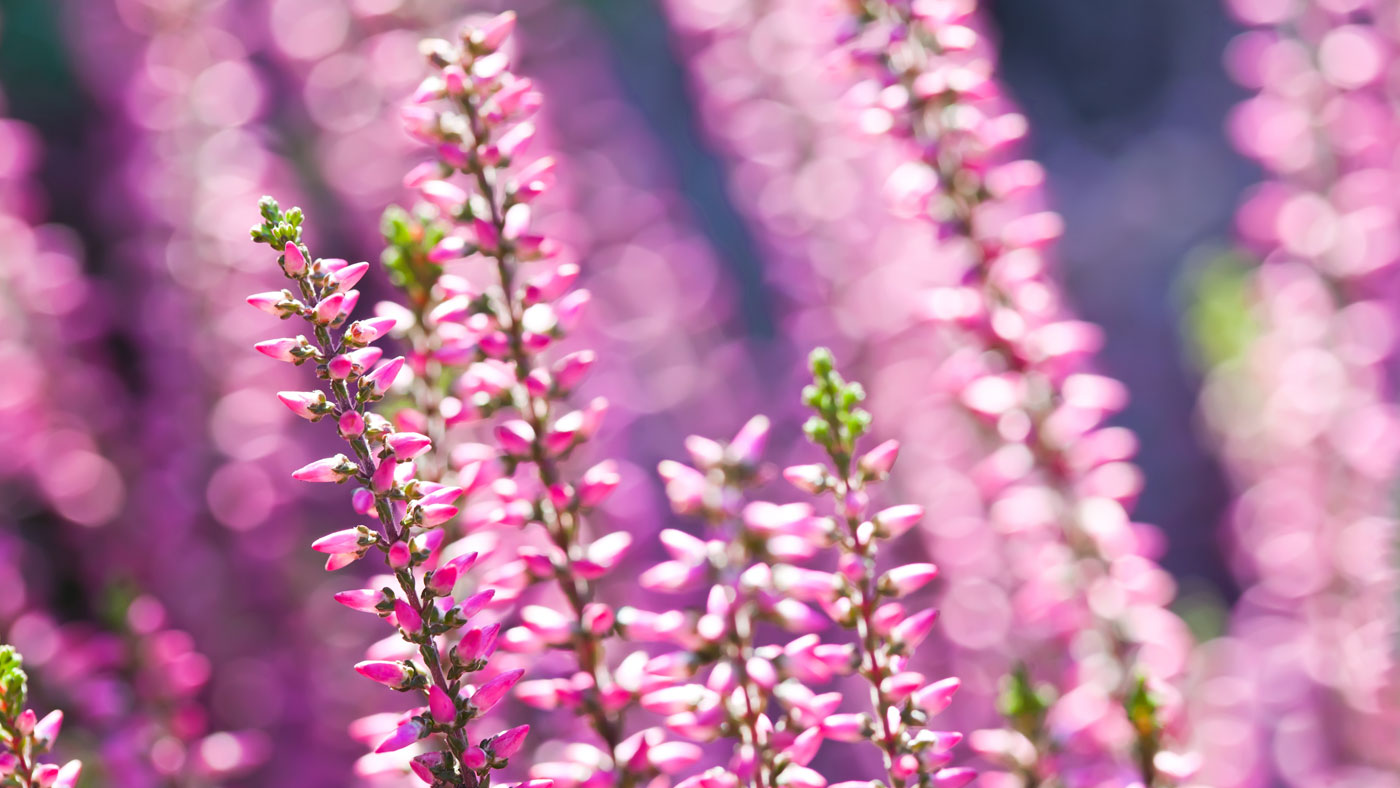 Photo of pink heather